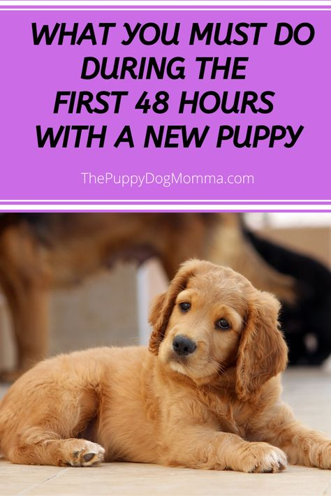 Getting a new puppy? Learn how to survive the first 48 hours with a new puppy. Check out the must do tips that start with the car ride home. Toy Puppies, Cute Puppies, Dogs And Puppies, Best Toys For Puppies, Doggies, Puppy Chew Toys, Puppies Tips, Black Lab Puppies, Teacup Puppies