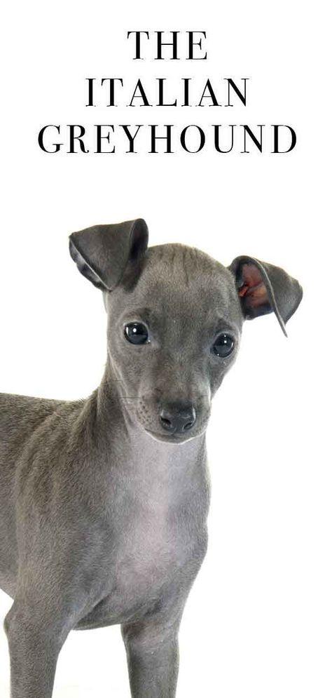 Italienischer Windhund Die Susse Schnelle Kleine Hunderasse Iggy Die Hunderasse Iggy Italienischer Windhund Hunderassen Windhund Welpen