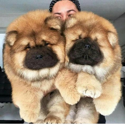Discover Beautiful Pup Toys for your lovely Chow Chow Perros Chow Chow, Chow Chow Dogs, Puppy Chow, Cute Baby Dogs, Cute Dogs And Puppies, Pet Dogs, Doggies, Rescue Dogs, Cute Fluffy Puppies