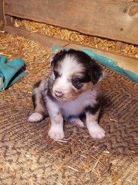 Litter Of 8 Australian Shepherd Puppies For Sale In Kerrville Tx Adn 62379 On Puppyfinder Co Australian Shepherd Puppies For Sale Australian Shepherd Puppies