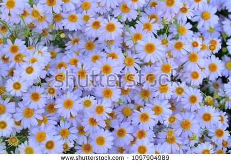 White Aster Flowers Background Aster Flower Flower Backgrounds Flowers