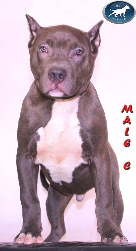 Pitbull Breeder Best Pitbull Puppies For Sale Pitbull Breeders