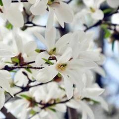 Star Magnolia White Flowers Magnolia Flowering Trees