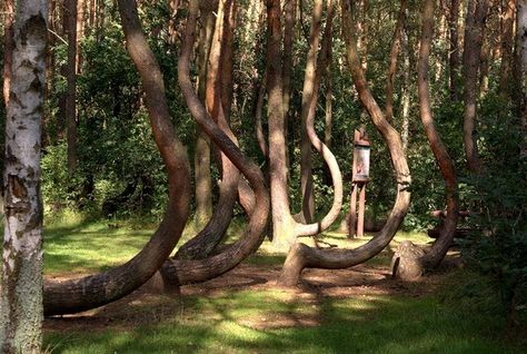 Crooked Forest - To this day the mystery of polands crooked forest remains unexplained