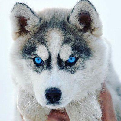 Ohhhhhhhhh Very Sweet Cute Puppy Veryverycutepuppies Husky