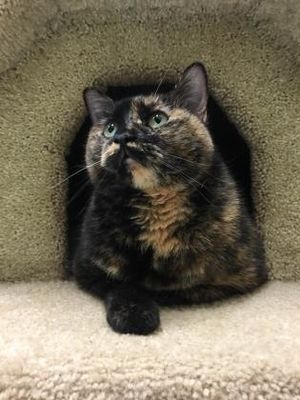 Inverness Fl Domestic Mediumhair Meet Petra Declawed Front A Pet For Adoption Pet Adoption Pets Cat Adoption