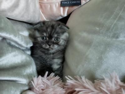 1 Black Smoke Male Scottish My Kittens Are The Best They Are Not Only Beautiful But So Smart They Also Make Wonderful Emoti Scottish Fold Weenie Dogs Kitten