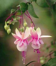 El Mundo Y Sus Plantas Fuchsia Nombre Común O Vulgar Fucsia Aljaba Aljava Flor De Arete Flor De Nácar Fusia Flor De Nacar Fucsia Flor Flores Exóticas