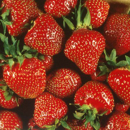 Quinalt Everbearing Strawberry 25 Bare Root Plants Huge Fruit Size Walmart Com Strawberry Plants Everbearing Strawberries Growing Strawberries
