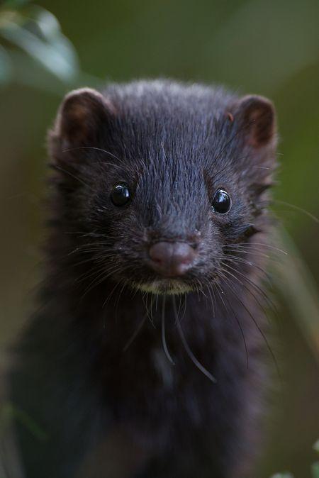 Mink In Iceland Hidden Secret Mink Animal Melanistic Animals Animals Beautiful