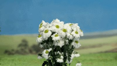 O Poder Das Margaridas Margaridas Rosas Flores
