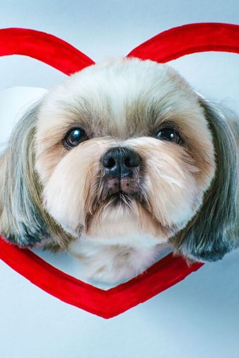 Cute Shih Tzu Dog Looking Through Hole In White Paper With Red