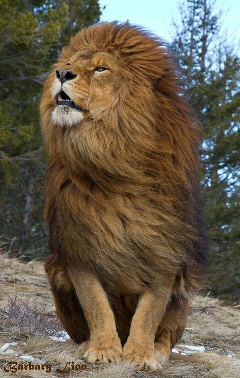 Hair Blowing Lion Wallpaper Animals Beautiful Lion