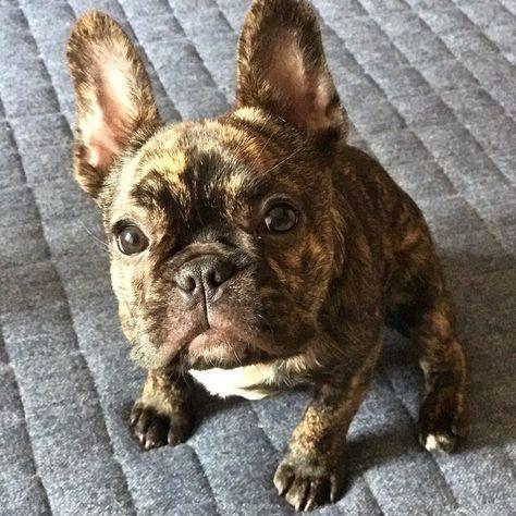 おはよーむんつむ  今日は休みでやっぱり雨 なので朝から大暴れしてもらお  #buhi #dog #frenchbulldog #フレンチブルドッグ #パピコ #黒ブル隊
