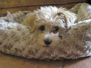 Growing Puppies Virginia Schnoodle Breeder Hypoallergenic Dogs Gallery Schnoodle Puppy Schnoodle Diva Dogs