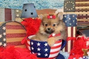 Teacup Pomeranian Puppy For Sale In Georgia