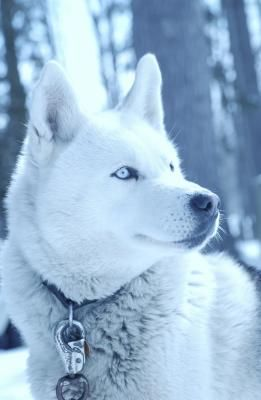 Homemade Dog Food For A Husky Dogs Alaskan Husky White Husky