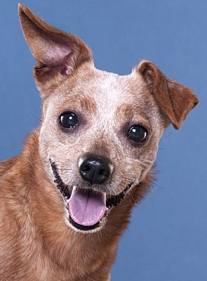 Pictures Of Pepper A Chihuahua For Adoption In Chicago Il Who
