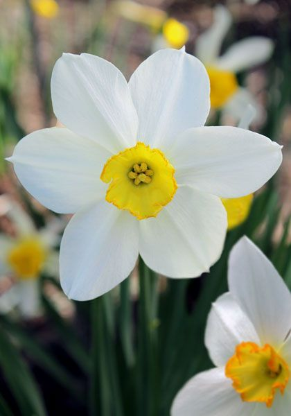 White Lady Daffodil 1897 Oldhousegardens Com Daffodil Bulbs Daffodils Garden Bulbs
