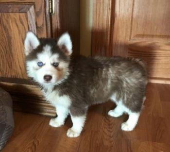 Healthy Siberian Husky Puppies For Sale Siberianhusky Husky