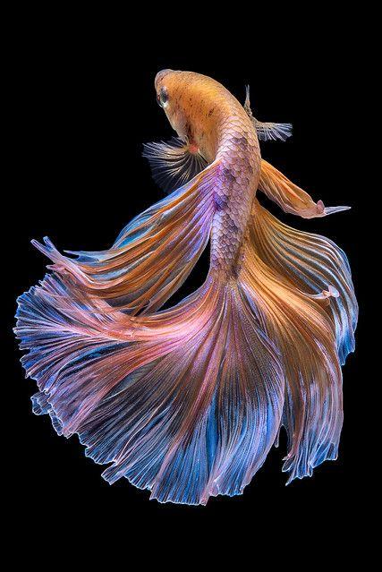 betta   Betta fish on black background.   da nokkaew   Flickr