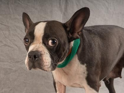 Petango Com Meet Gidget A 6 Years Terrier Boston Available For Adoption In Colorado Springs Co Adoptable Pets Terrier Dogs Rescue Dogs