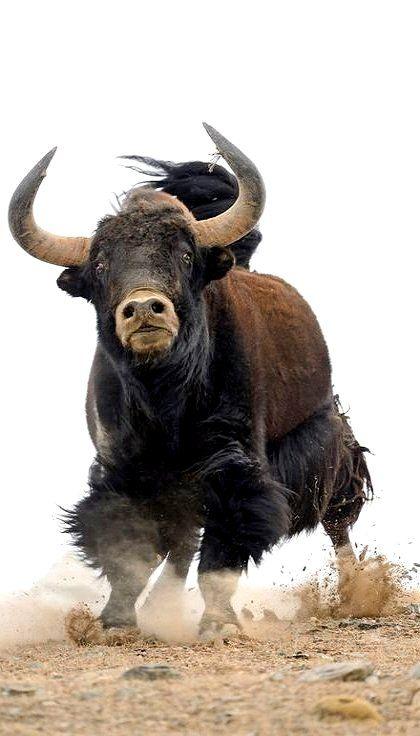Tibetan Yak is Comin' at ya!!! ✿⊱╮
