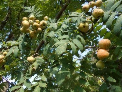 Frutti Antichi Sorbo Domestico Con Immagini Frutta Erbe Orto