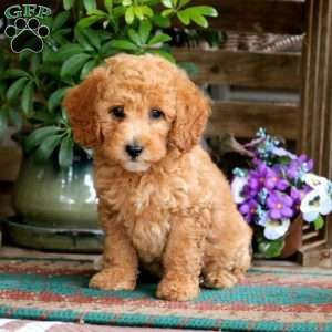 Cassidy Miniature Poodle Puppy For Sale In Pennsylvania Poodle