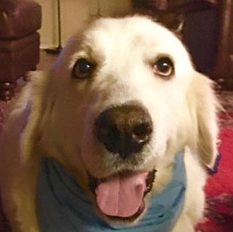 Pictures Of Adelaide A Great Pyrenees For Adoption In Garland Tx Who Needs A Loving Home Great Pyrenees Pet Adoption Animal Rescue