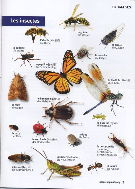 Les Insectes Libelle Bienen Franzosisch