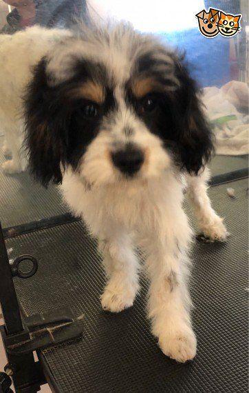 Cavapoo Boy For Sale Market Rasen Lincolnshire Pets4homes