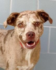 Adopt Boston, a lovely 2 years  6 months Dog available for adoption at Petango.com.  Boston is a Catahoula Leopard dog / Mix and is available at the Animal Defense League of Texas in San Antonio, TX