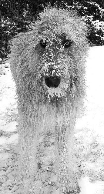 Deer Hound In Scotland Irish Wolfhound Dog Life Beautiful Dogs