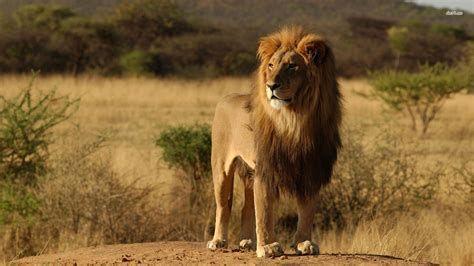 The Big 5 Animals Of Africa Safari Sue Melanistic Animals Animals Wild Lion
