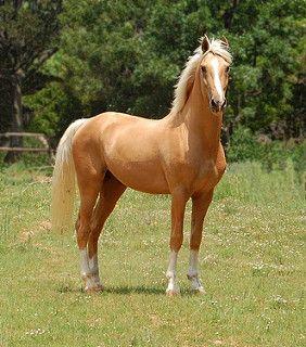 Napoleon - Palomino part Saddlebred Stallion | by must love horses