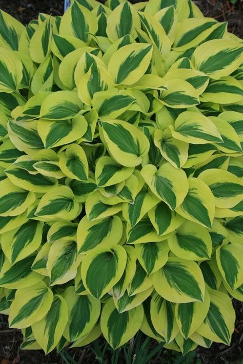 Hosta Grand Prize (Walters Gardens : This superb ploidy-mutant sport of Hosta 'Grand Tiara' is our favorite of the
