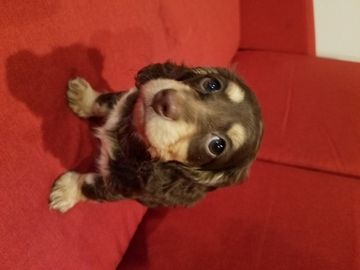 Litter Of 2 Dachshund Puppies For Sale In Hillsboro Or Adn 57306