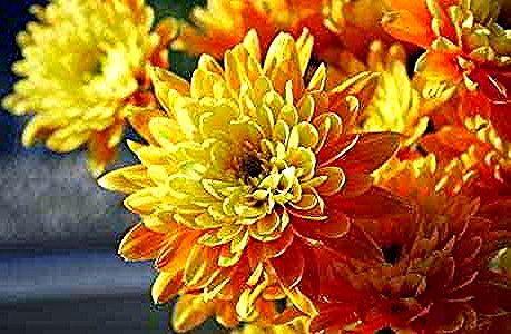 Bunga Krisan Kunign Yellow Chrysanthemum Flower In 2020 Yellow Chrysanthemum Wedding Table Flowers Chrysanthemum