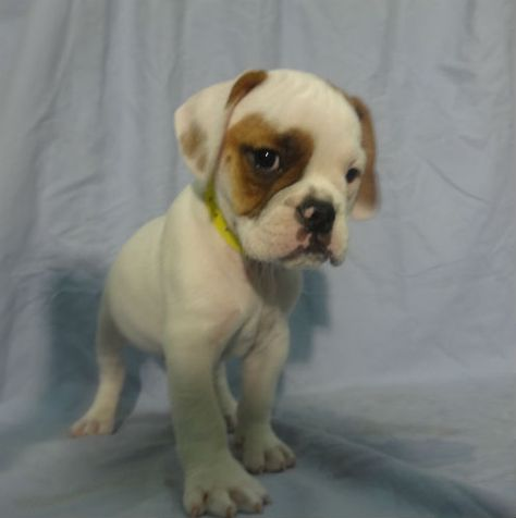 Bull Puggle 9024 Mixed Breed Puppies Puppies Puppies For Sale
