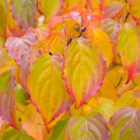 Cornus Florida Flowering Dogwood Large Specimen Plant Garden Plants Green Flowers Plants Pink Flowers