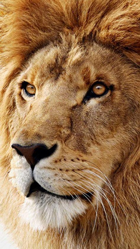 Lion iPhone Wallpaper (79+ images)