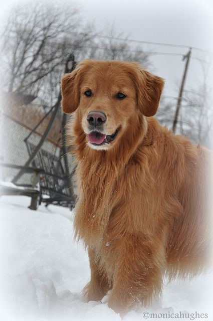 Snow Angel In 2020 Dogs Golden Retriever Beautiful Dog Breeds Golden Retriever