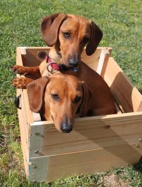 .dachshunds #Labrador #Retriever #puppy