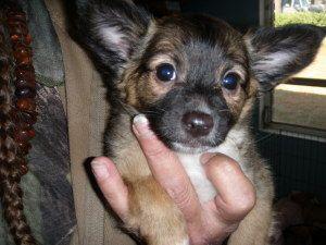 Chianti Is An Adoptable Chihuahua Dog In Marianna Fl Chianti Is