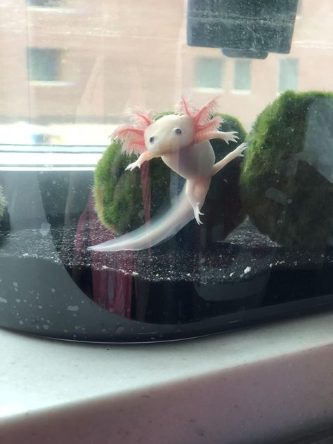 D – photograph of Axolotl C – could use in panel / scene; looks like doing karat… D – photograph of Axolotl C – could use in panel / scene; looks like doing karate kick Les Reptiles, Cute Reptiles, Reptiles And Amphibians, Reptiles Preschool, Axolotl Cute, Axolotl Tank, Cute Little Animals, Cute Funny Animals, Cute Lizard