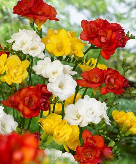 Bloomsz Double Freesia Mix Bulb Set Of 20 Zulily Container Flowers Beautiful Flowers Flowers