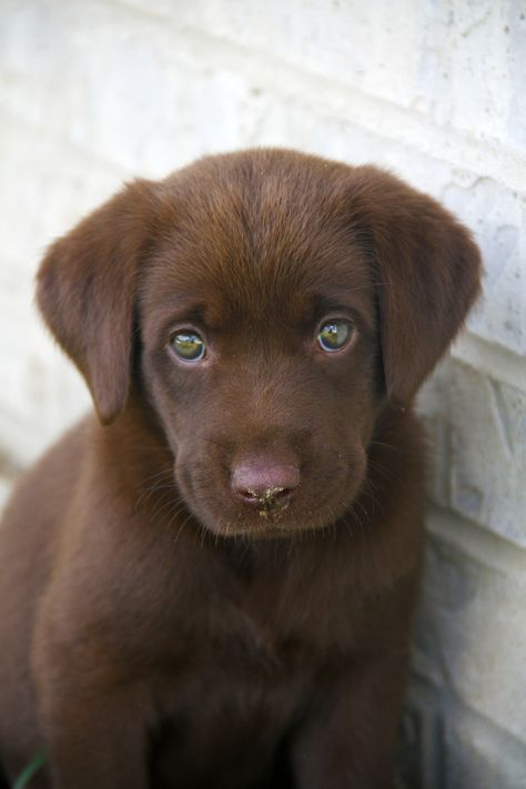 i got gift from My brother. Super Cute Puppies, Cute Dogs And Puppies, Lab Puppies, Little Puppies, I Love Dogs, Doggies, Baby Animals Pictures, Cute Animal Photos, Dog Pictures