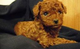 Poodle Puppies For Sale New York Westchester Toy Poodle Puppies