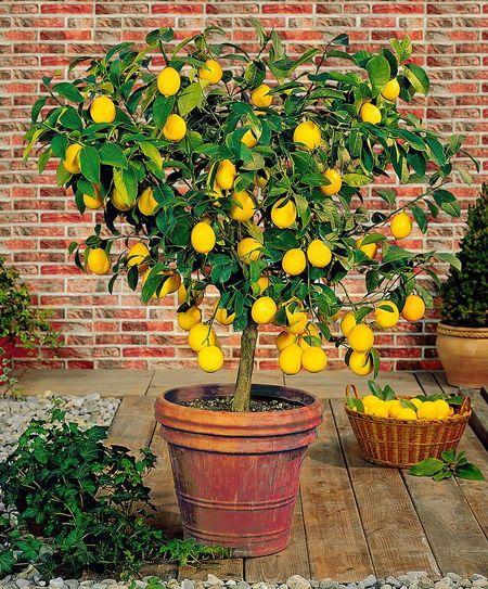Estos árboles Frutales Serán Perfectos Para Plantar Esta Primavera 2018 árboles Frutales En Maceta Jardín Potted Trees Fast Growing Trees Meyer Lemon Tree